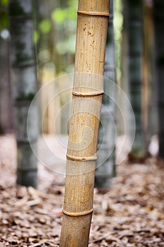 Bamboo Forest Royalty Free Stock Image - Image: 27771226