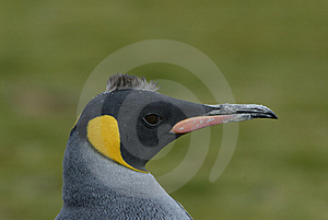 King Penguin Stock Photography - Image: 2782262