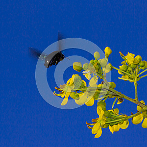 Carpenter Bee Royalty Free Stock Images - Image: 27851309