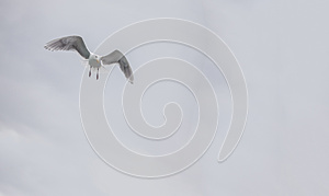 Seagull Flying Stock Photography - Image: 27856662