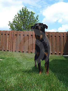 Action Ready Rottweiler Dog Stock Photo - Image: 2790990