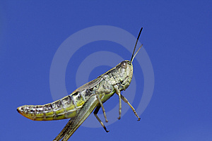 Jumping Grasshopper Stock Photo - Image: 2797190