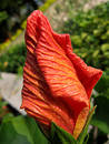 Flower of hibiscus Stock Photography