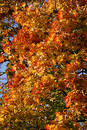 Maple tree in the autumn Free Stock Image
