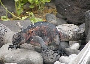 Iguana Walking Royalty Free Stock Image - Image: 2808946