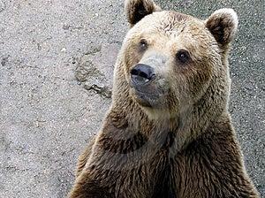 Testa dell'orso Fotografia Stock Libera da Diritti