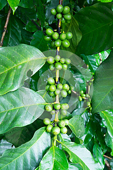 Unripe Coffee Beans On The Branch Royalty Free Stock Photo - Image: 28167275