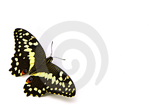 Citrus Butterfly (BLC) Royalty Free Stock Photography