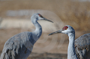 Sandhill Cranes Royalty Free Stock Photos - Image: 2825228