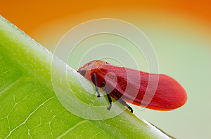 Red Cicada Royalty Free Stock Photos - Image: 28228038