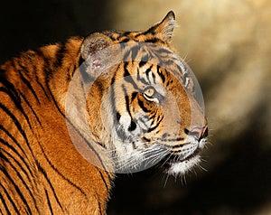 Тигр Стоковые Изображения RF - изображение: 28245209