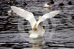 Um Flapping Da Cisne Foto de Stock - Imagem: 28279160