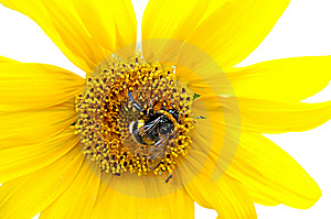 Bumblebee On A Sunflowe Stock Image - Image: 2844931