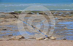 Leoni Marini Di Sonno Sulla Costa Atlantica. Fauna Dell'Argentina. Fotografia Stock - Immagine: 28464482