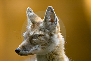 Corsac Fox Royalty Free Stock Photography - Image: 2850007