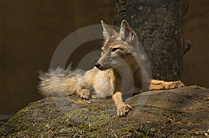 Corsac Fox Royalty Free Stock Images - Image: 2850049