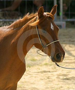 Ritratto di un cavallo Immagini Stock