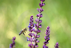 Bee 29 Royalty Free Stock Photos - Image: 2855928