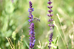 Bee 28 Royalty Free Stock Photos - Image: 2855938