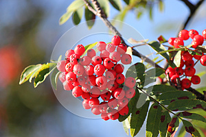 Red Berries And Green Leaves Royalty Free Stock Photo - Image: 28514805