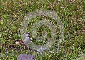 Cotovia Horned Imagem de Stock - Imagem: 28580791
