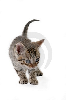 Striped Kitten Standing Royalty Free Stock Photography - Image: 2863297