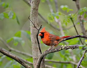 Cardinal (2) Royalty Free Stock Photos
