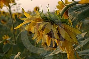 Sunflower Series Stock Photos - Image: 2867783