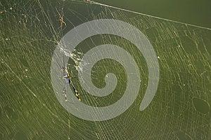 Ragno Dorato Di Globo-Web (speci) Di Nephila Sudafrica Immagini Stock - Immagine: 28635164