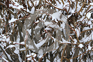 Bush In The Snow Royalty Free Stock Images - Image: 28688649