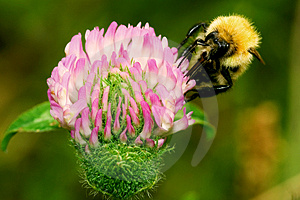 Honeybee Stock Photo - Image: 2879340