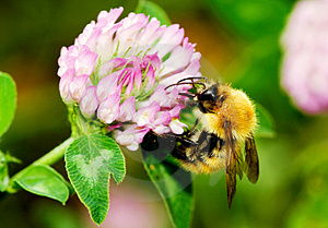Honeybee Royalty Free Stock Images - Image: 2879359