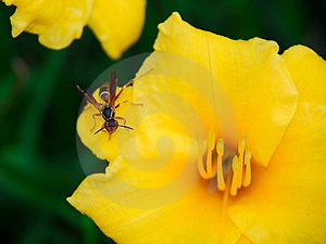 Wasp On Flower Stock Photo - Image: 2879490