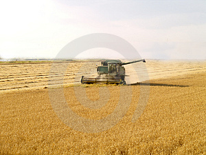Harvest Gold Royalty Free Stock Images - Image: 2888669