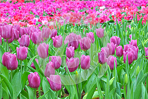 Tulips Stock Images - Image: 28867074