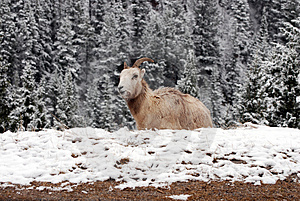 Long Horn Sheep Royalty Free Stock Photos - Image: 2897238