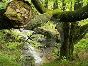 European Or Common Beech Stock Images - Image: 2897654