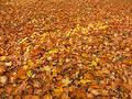 Bed of dead maple leaves Stock Images