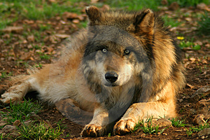 Photo of a Wolf (Canis lupus) Stock Photos