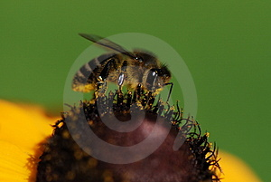 Bee On A Yellow Flower Royalty Free Stock Images - Image: 2924379