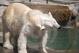 Polar Bear Shake Stock Photography - Image: 2937522