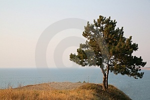 Alone Pine Royalty Free Stock Photo - Image: 2951905