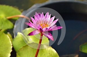Pink Lotus Blooming On Pond Stock Images - Image: 29548254