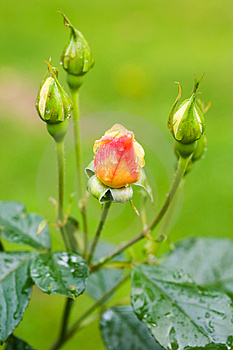 Water Drops On Rosebuds Stock Image - Image: 2970811