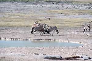 Gemsbok Fighting At Waterhole Royalty Free Stock Photos - Image: 2979338