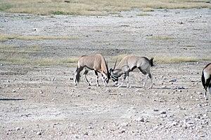 Gemsbok Fighting At Waterhole Stock Images - Image: 2979344