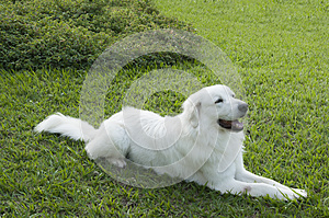 White Dog In Green Grass Background Stock Image - Image: 29789881