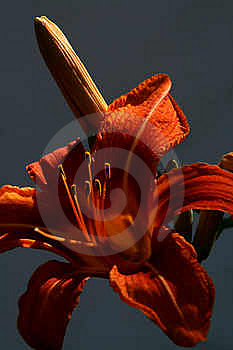 Day Lily Stock Image - Image: 2980671