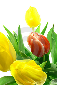 Beautful tulips on a white Stock Images