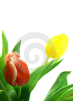 Beautful tulips on a white Royalty Free Stock Image
